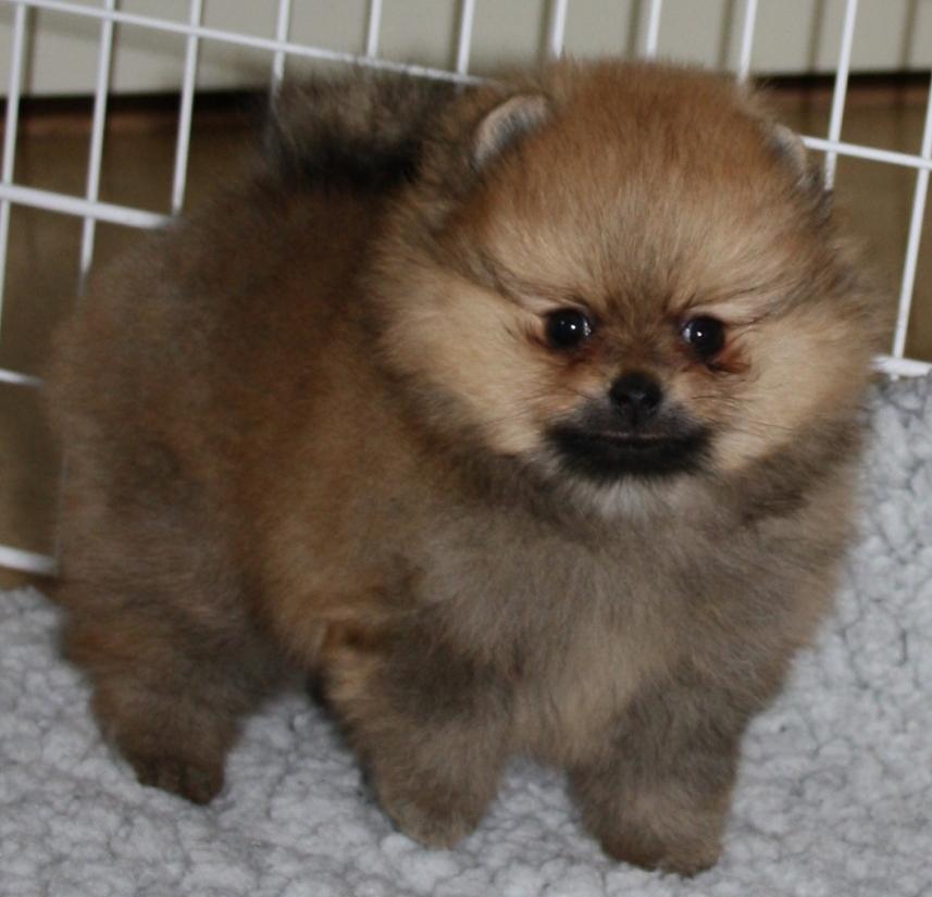 Pomeranian puppies brown