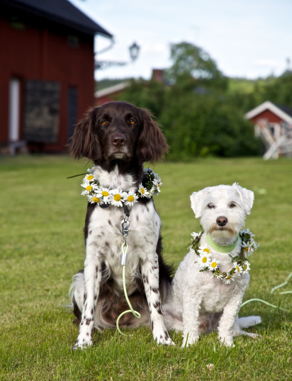 molly__figge_midsommar1