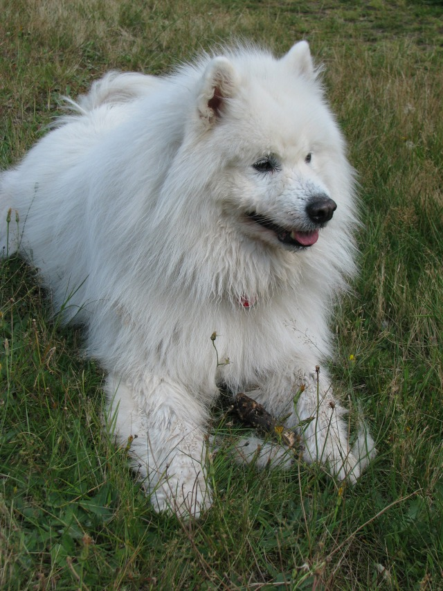 samoyed-dog
