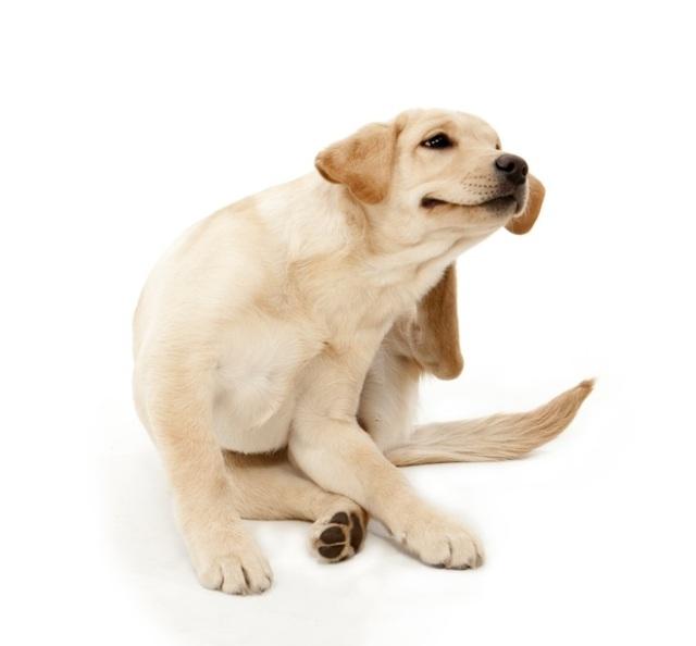 kliandehund