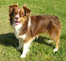 Miniature_Australian_Shepherd_red_tricolour